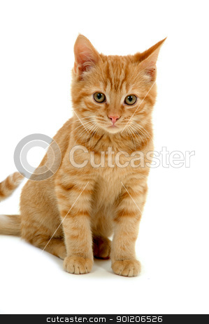 Sweet kitten on white background stock photo, Sweet kitten on white background by Lars Christensen