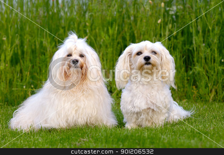 Two Bichon Havanais dogs stock photo, Two dogs is posing on green grass. Breed: Bichon Havanais by Lars Christensen