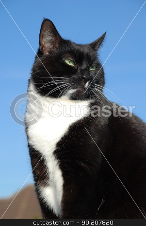 Black and white cat stock photo, Portrait of a black and white cat against a blue sky background. by newsfocus1