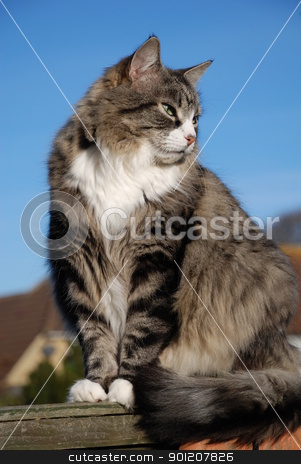 Silver tabby cat stock photo, Portrait of a silver tabby cat sitting on a garden fence, against a blue sky background. by newsfocus1
