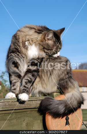 Silver tabby cat stock photo, A silver tabby cat grooming its fur while sitting on a garden fence, against a blue sky background. by newsfocus1