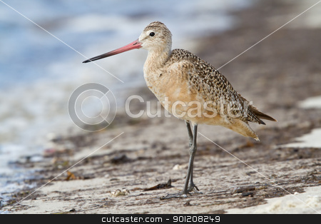 Marbled Godwit (Limosa fedoa) stock photo, Marbled Godwit standing on beach shore. by Glenn Price