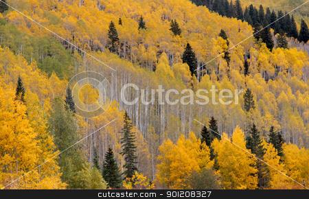 Aspens stock photo, Yellow aspen trees in Colorado in Autumn time by Sreedhar Yedlapati