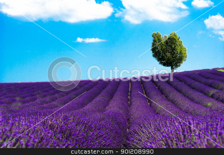 Plateau de Valensole - Fields of lavander stock photo, Europe, France, Alpes-de-Haute-Provence (04), parc naturel régional du Verdon, plateau de Valensole, champs de lavande. by Scanella