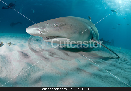 Coming by stock photo, A lemon shark swimming along the sea bed with divers in the background, Bahamas by Fiona Ayerst Underwater Photography