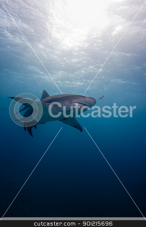 Sunburst shark stock photo, The view of a shark light by sun rays, Bahamas by Fiona Ayerst Underwater Photography