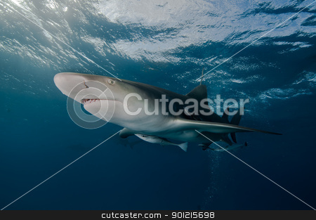 Glaring lemon shark stock photo, A close up on a lemon shark swimming near the surface, Bahamas by Fiona Ayerst Underwater Photography