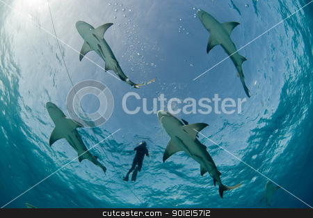 Flight of the lemon sharks stock photo, Underneath view of diver surrounded by lemon sharks at the water's surface, Bahamas by Fiona Ayerst Underwater Photography