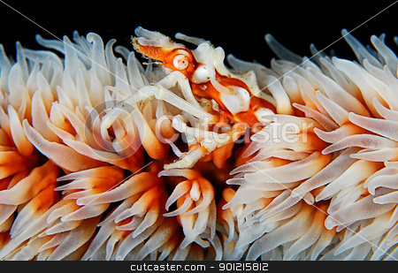Whip Coral Xeno Crab stock photo, Bassas da India by Fiona Ayerst Underwater Photography
