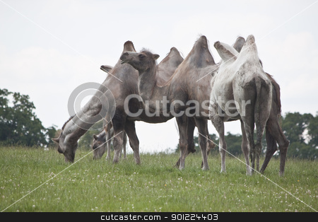 camels gathered eating some grass stock photo, camels eating grass on a hill by Stephen Clarke
