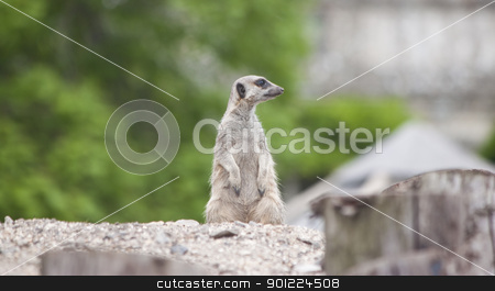 meercat on sentry duties stock photo, a meercat standing on sentry duty by Stephen Clarke