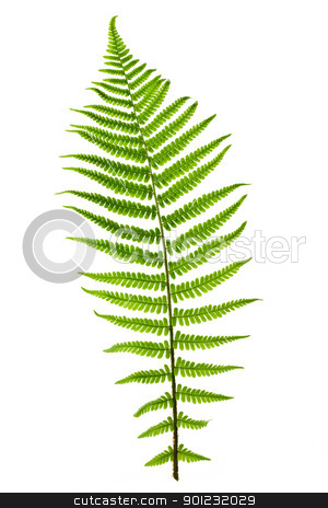 Fern leaf stock photo, Green fern leaf isolated on white background by Elena Elisseeva