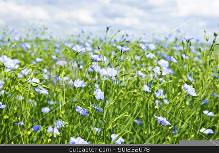 Blooming flax field stock photo, Field of many flowering flax plants with blue sky by Elena Elisseeva