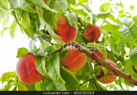 Peaches on tree stock photo, Ripe peaches ready to pick on tree branches by Elena Elisseeva