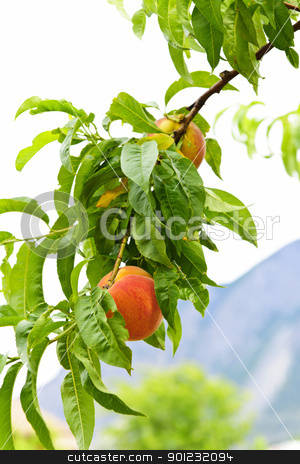 Peaches on tree stock photo, Ripe peaches ready to pick on tree branch by Elena Elisseeva
