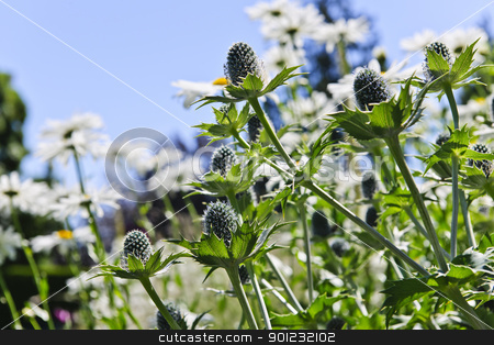 Thistles and daisies in garden stock photo, Closeup of green thistle plants and daisies in garden by Elena Elisseeva