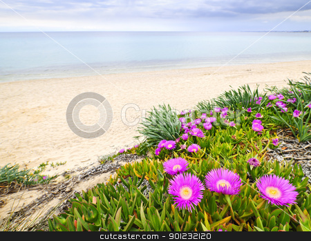 Aegean sea coast in Greece stock photo, Sea fig or ice plant flowers blooming on Aegean coast in Chalkidiki, Greece by Elena Elisseeva