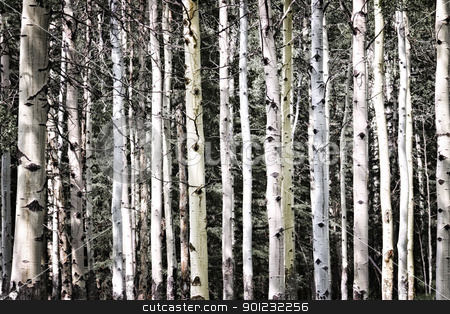 Aspen tree trunks stock photo, Aspen tree trunks in forest as natural background by Elena Elisseeva