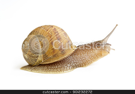 Snail crawling forward stock photo, Snail with shell moving forward isolated on white background by Elena Elisseeva