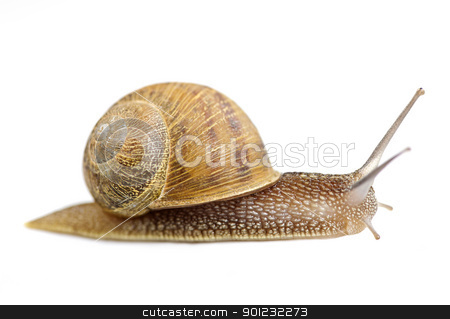 Crawling snail stock photo, Garden snail moving forward isolated on white background by Elena Elisseeva