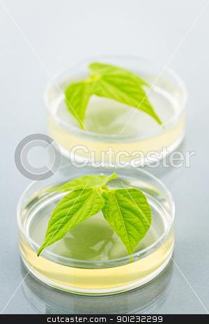 GM plants in petri dishes stock photo, Genetically modified plants tested in petri dishes by Elena Elisseeva
