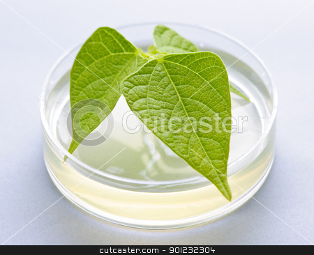 GM plant in petri dish stock photo, Genetically modified plant tested in petri dish by Elena Elisseeva