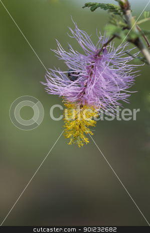 Sickle bush stock photo, A fully blown sickle bush on a bright sunny day by Arvind Balaraman