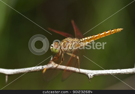 dragon fly stock photo, A dragonfly perching on a dry twig by Arvind Balaraman