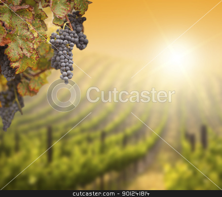 Lush Grape Vine with Blurry Vineyard Background stock photo, Beautiful Lush Grape Vine In The Morning Mist and Sun with Room for Your Own Text on Blurry Vineyard Background. by Andy Dean