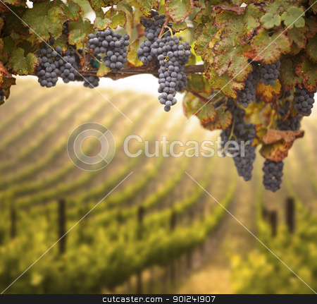 Beautiful Lush Grape Vineyard stock photo, Beautiful Lush Grape Vineyard In The Morning Mist and Sun with Room for Your Own Text. by Andy Dean