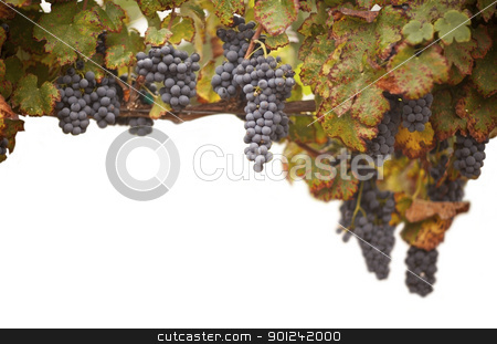 Beautiful Lush Grape Vineyard on White stock photo, Beautiful Lush Grape Vineyard on a White Background. by Andy Dean