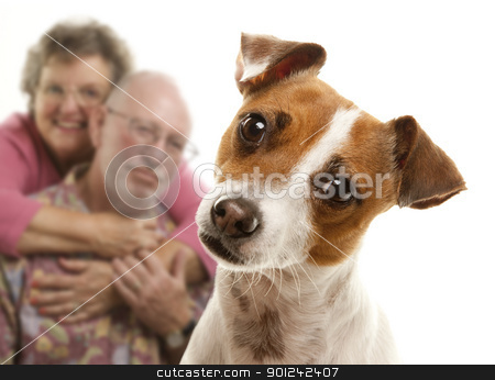 Portait of an Adorable Jack Russell Terrier stock photo, Adorable Jack Russell Terrier and Adoring Senior Couple Behind Isolated on a White Background. by Andy Dean
