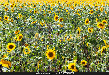 Sunflower field stock photo, Beautiful field of sunflowers and cloudy sky by Imaster