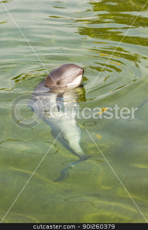 Harbour porpoise or Phocoena phocoena stock photo, Curious Harbour porpoise or Phocoena phocoena in summer sunshine and clear water by Colette Planken-Kooij