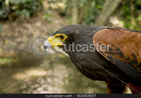 Harris Falcon From Side stock photo, Harris Falcon From Side by natspel