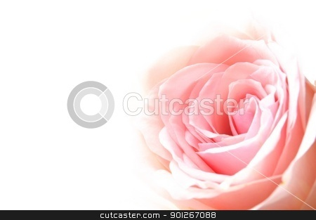 bright pink roses stock photo, bright pink roses on white backround with copyspace by Gunnar Pippel