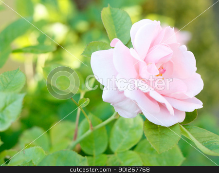 Pink rose stock photo, Pink rose by Lasse Kristensen@gmail.com
