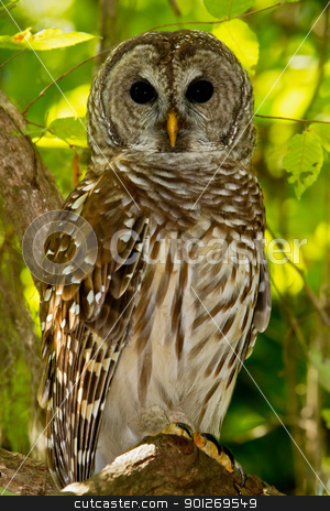 Barred Owl (Strix varia) stock photo, Barred Owl perched on tree limb in wooded area. by Glenn Price