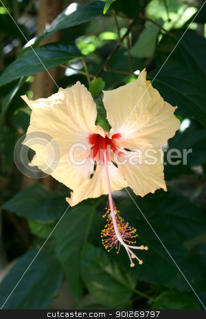 Hibiscus flower stock photo, A single beautiful hibiscus flower by Lasse Kristensen@gmail.com