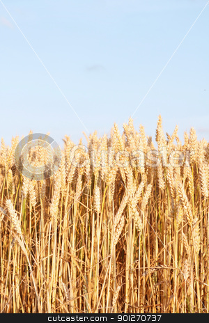 Corn field stock photo, A beautiful corn field in a line by Lasse Kristensen@gmail.com