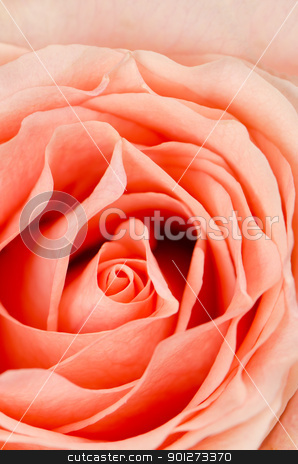 Pink rose flower stock photo, Pink rose flower background, top view closeup. by Homydesign