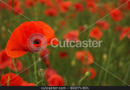 poppy field stock photo, Many red poopy flowers on field by johnnychaos