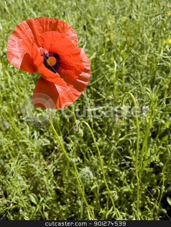 poppy flower stock photo, red poopy flower on field by johnnychaos