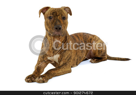 Staffordshire terrier dog stock photo, Staffordshire terrier dog is resting on a clean white background by Lars Christensen