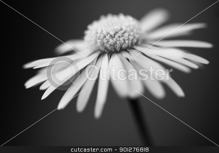 daisy stock photo, close up of white daisy on artistic background with soft focus by klenova