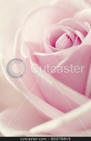 rose stock photo, Close-up view of beatiful pink rose by klenova