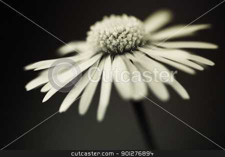 daisy stock photo, close up of white daisy on artistic background with soft focus in sepia tone by klenova