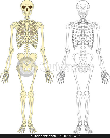 skeleton illustration stock vector clipart, A human skeleton  by Christos Georghiou