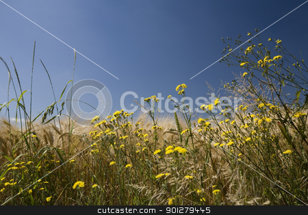 Summer field stock photo, Summer field with yellow flowers against blue sky buckground by klenova