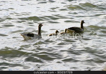 Duck Family stock photo, Duck family swimming in the ocean. by Tyler Olson